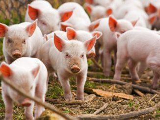 Lauksaimnieki varēs saņemt atbalstu biodrošības prasību ieviešanai cūkkopības saimniecībās
