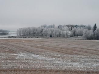 lauks ziema