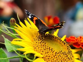 saulespuķe